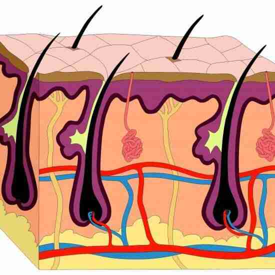 An anatomic picture of the skin and hair follicles.